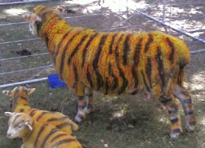 Sheep painted with stripes to look like tigers